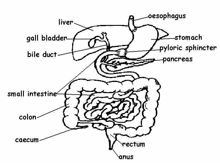 labeled diagram of the digestive system - group picture  image by tag