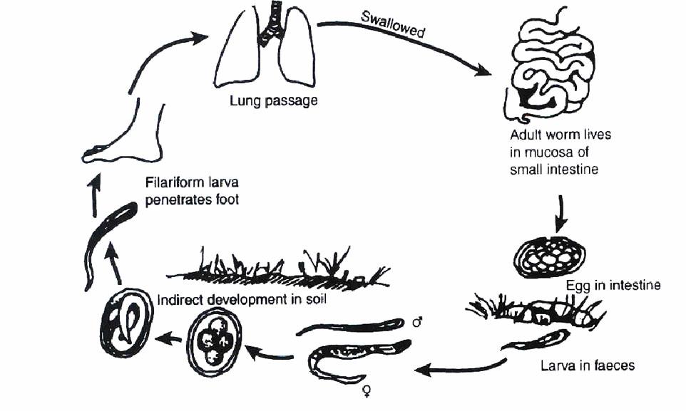 lárva helminthiasis