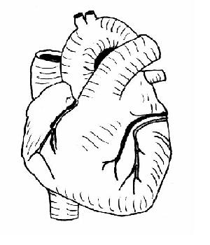 Exterior view of heart unlabeled.JPG