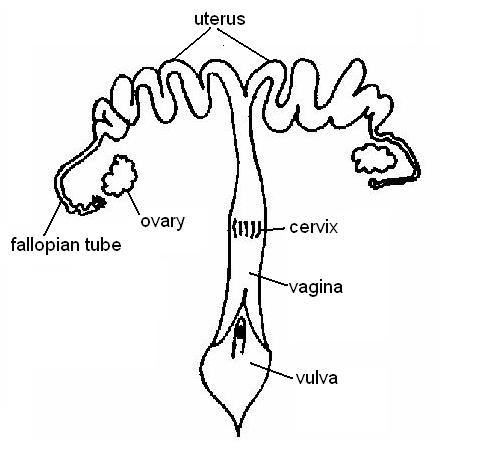 reproductive system worksheet answers