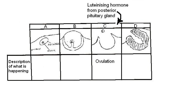 Image:Stages of ovarian cycle for worksheet.JPG