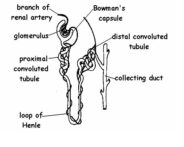 the anatomy and physiology of animals  excretory system worksheet  worksheet answers