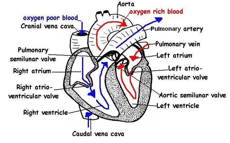 The Anatomy and Physiology of AnimalsHeart WorksheetWorksheet – Heart Worksheet