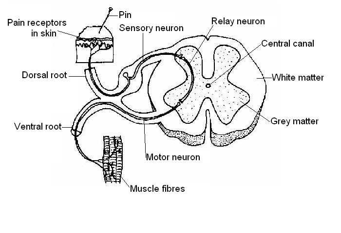 the anatomy and physiology of animals nervous system worksheet Label and Draw an Eye spinal nervous pathway labelled