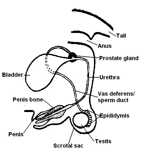 Male dog reproductive system labeled.JPG