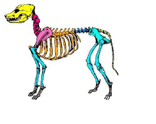 The Anatomy And Physiology Of Animals  Skeleton Worksheet