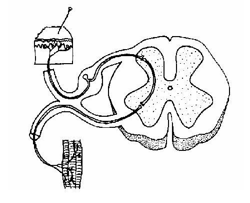 Image:Spinal nervous pathway unlabelled.JPG