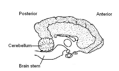 Dog's brain partially labelled.JPG