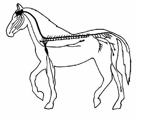 Image:Horse nervous system unlabelled.JPG