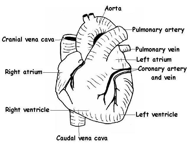 The diagram below shows an external view of the mammalian heart.