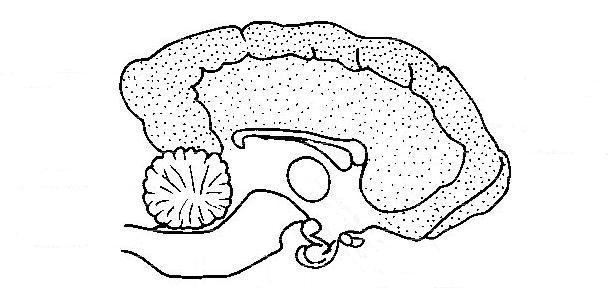 Anatomy and physiology unlabeld LS dog's brain.JPG