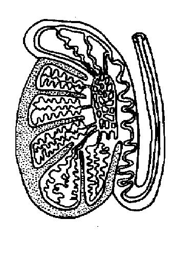 The Anatomy and Physiology of Animals/Reproductive System ...