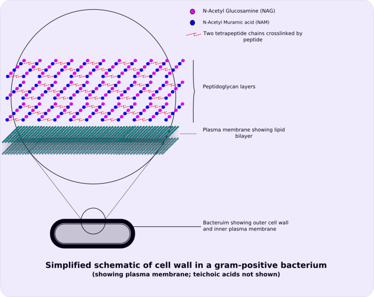 ‎ Image:400px-Gram-positive cellwall-schematic.png