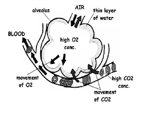 the anatomy and physiology of animals  respiratory system