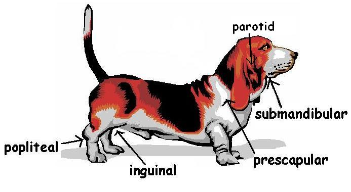 POsition of lymph nodes of a dog.JPG