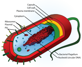 Image:bacteria structure.png