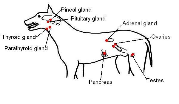 Image:Endocrine organs of dog labelled.JPG