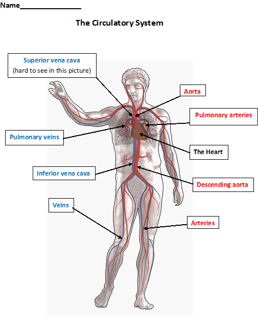 worksheets cardiovascular system