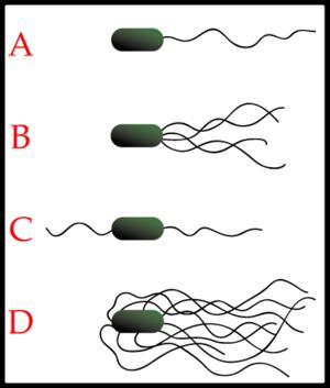 Lophotrichous Flagella