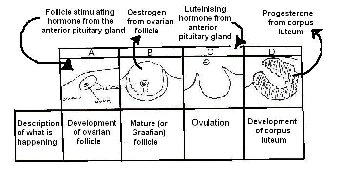 Image:Stages of ovarian cycle labelled for worksheet.JPG