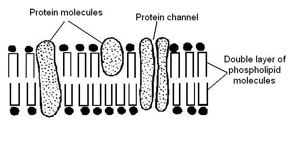 5796454 besides S20 03 Membranes And Membrane Lipids furthermore Prokaryotic Vs Eukaryotic Cells in addition File Anatomy and physiology of animals structure plasma membrane in addition 1 3 Membrane Structure. on phospholipid cell membrane diagram