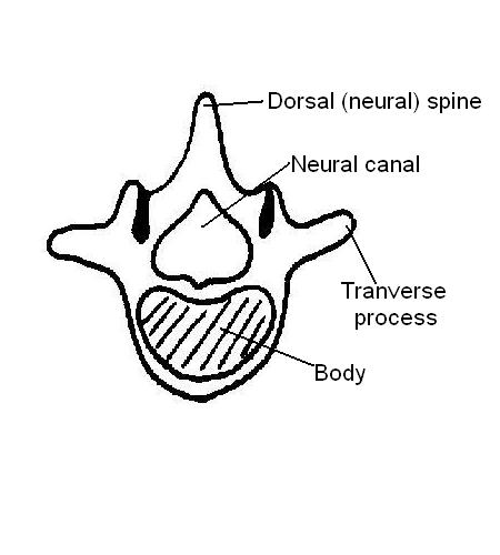 Vertebra labelled.JPG