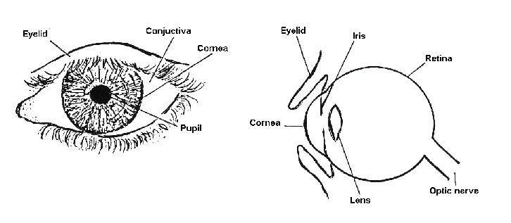 Diagram Of The Eye 3rd Grade Image collections - How To ...