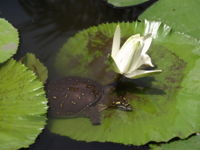 Water Lilly at Anthesis with a Turtle
