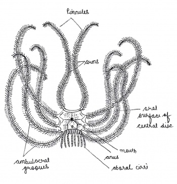 department of zoology at andc/zoology museum/museum ... echinodermata feeding diagram