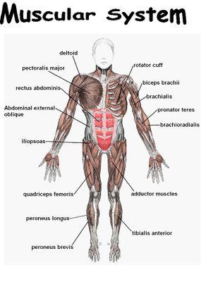 skeletal system worksheet answers
