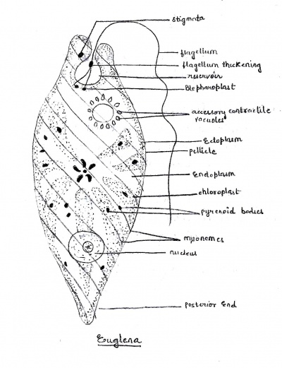 tha diagram of euglena