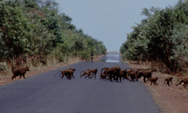 Image: Baboons crossing the road