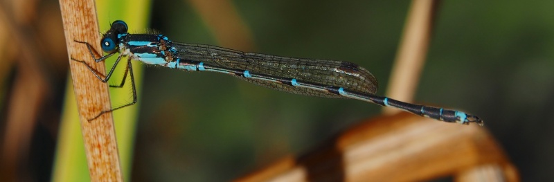 Damsel fly at rest