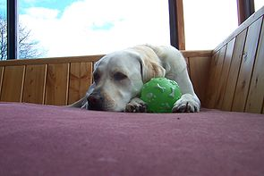 Lab retriever with squeeky ball