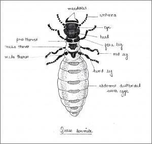 labelled diagram of queen termite jpg