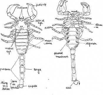 Department of zoology at andczoology museummuseum specimens labelled diagram of palamnaeusg ccuart Image collections