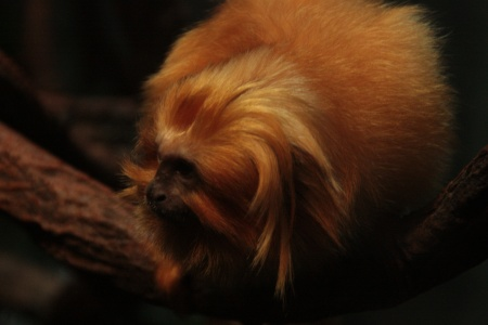 Image: Golden Lion Tamarin. Woodland Park Zoo 9/30/2011