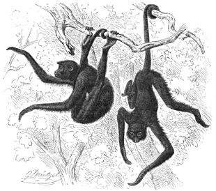 Image: Spider monkeys