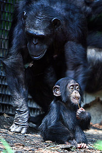 Image: Chimpanzee mother and baby