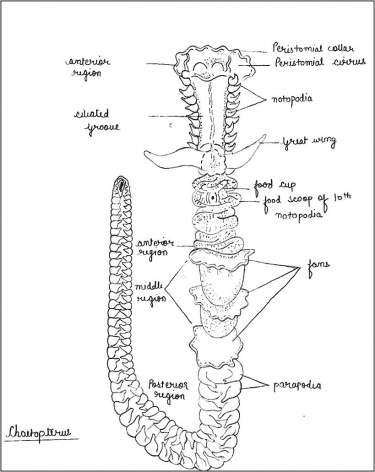 Labelled diagram of Chaetopterus.jpg