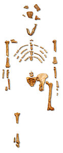 "Image: Reconstruction of the fossil skeleton of ""Lucy"" the Australopithecus afarensis"