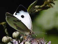 Insect cabbage white butterfly 20080722 0066.jpg