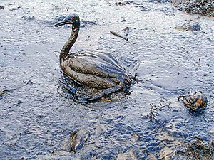 Oiled bird in an oil spill on the Black Sea